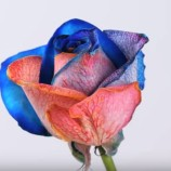 Ako vytvoriť z bielej ruže farebnú?