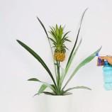 Návod ako v domácich podmienkach vypestovať ananás