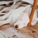 Ktorá podlaha je pre psy ideálna?